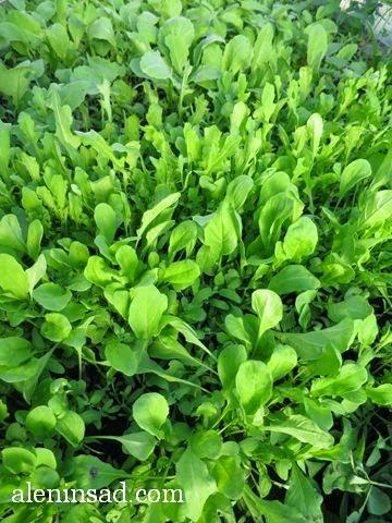 руккола, рукола, всходы, листья, теплица, теплице, аленин сад, ранний посев,