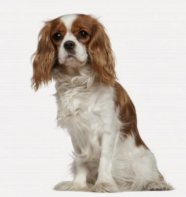 king charles  spaniel www.petsnmore.org