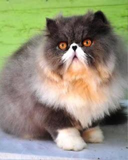Gambar Kucing Persia Lucu 100013