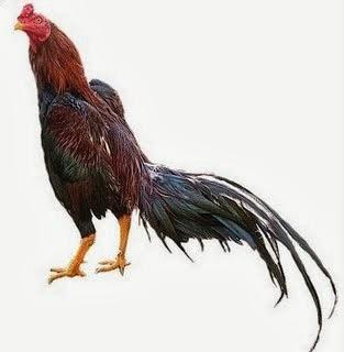 Ciri Fisik Ayam Bangkok Aduan Terbaik