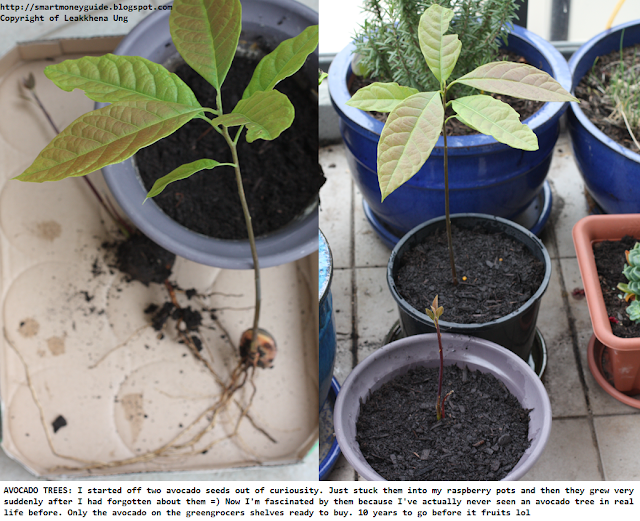 How to grow an avocado tree from seed home decorating for Grow your own avocado tree from seed