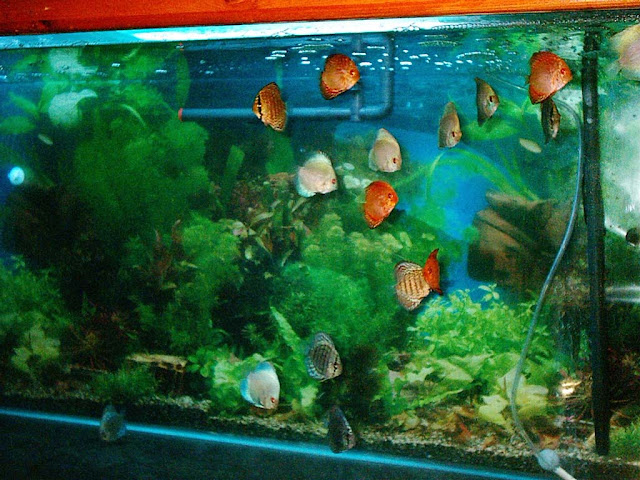 Discus kim 39 s 200 gallon aquarium for Diskus aquarium