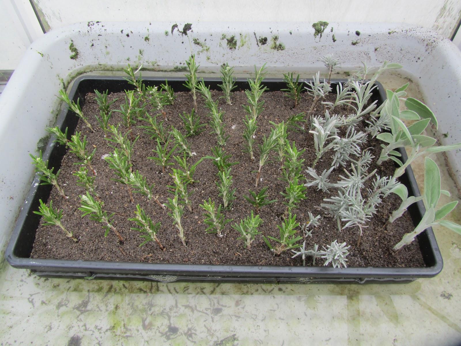 Jardins tudiants engraines savez vous transplanter - Quand ramasser le thym ...