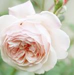 Väntar på att våren ska komma o rosorna börjar blomma!