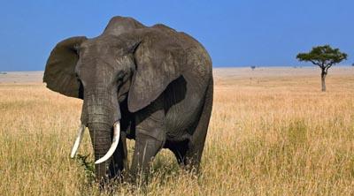 foto gajah terbesar di dunia - gambar hewan - foto gajah terbesar di dunia