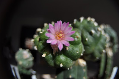 Flowering Lophophora jourdaniana - fisheye/tilt-shift