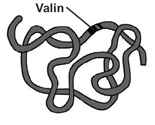 Asam amino yang dihasilkan berupa valin (menggantikan asam glutamat)