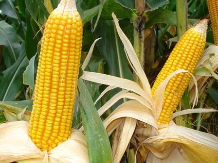 Panduan Cara budidaya tanaman Jagung varietas unggul organik kultur jaringan pupuk POC NASA HORMONIK SUPERNASA GRANULE POWER NUTRITION PENTANA BVR GLIO PESTONA TANGGUH DEKOMPOSER METILAT GREENSTAR AERO-810