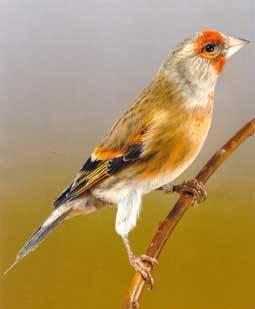 Tips Melatih Burung Kenari Hibrid Unggulan