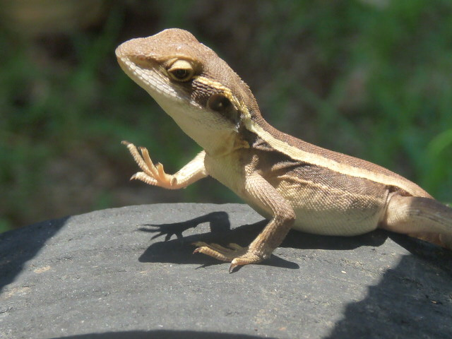 OUR CUTE LITTLE TA~TA LIZARD..MOUNT ISA QLD