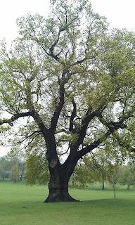 Quercus robur - Oak Tree Brockwell Park Showing Stem Structure