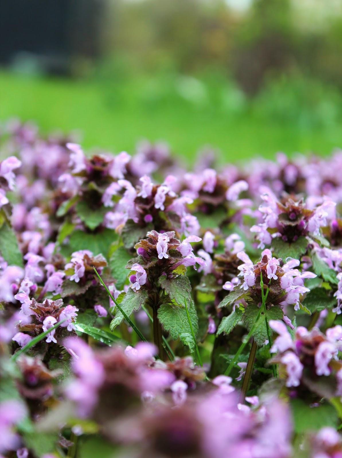 vilde blomster i græsplænen
