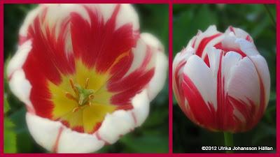Tulipa röd och vit tulpan