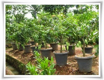 Bibit Pohon Mangga Murah