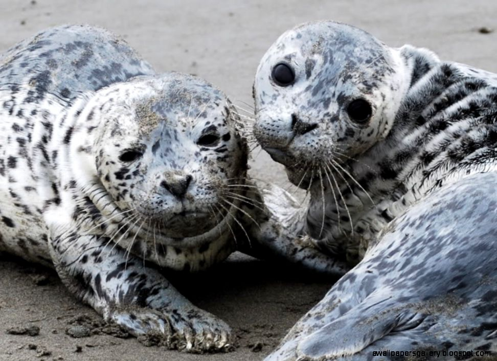 Baby Harbor Seal | Wallpapers Gallery