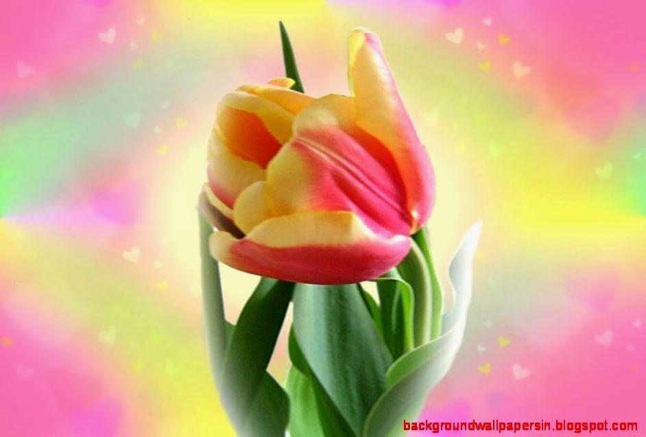 Beautiful Tulip Flower Wallpaper Tulip Flower Wallpaper