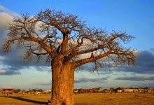 baobá gigante no norte da África do Sul