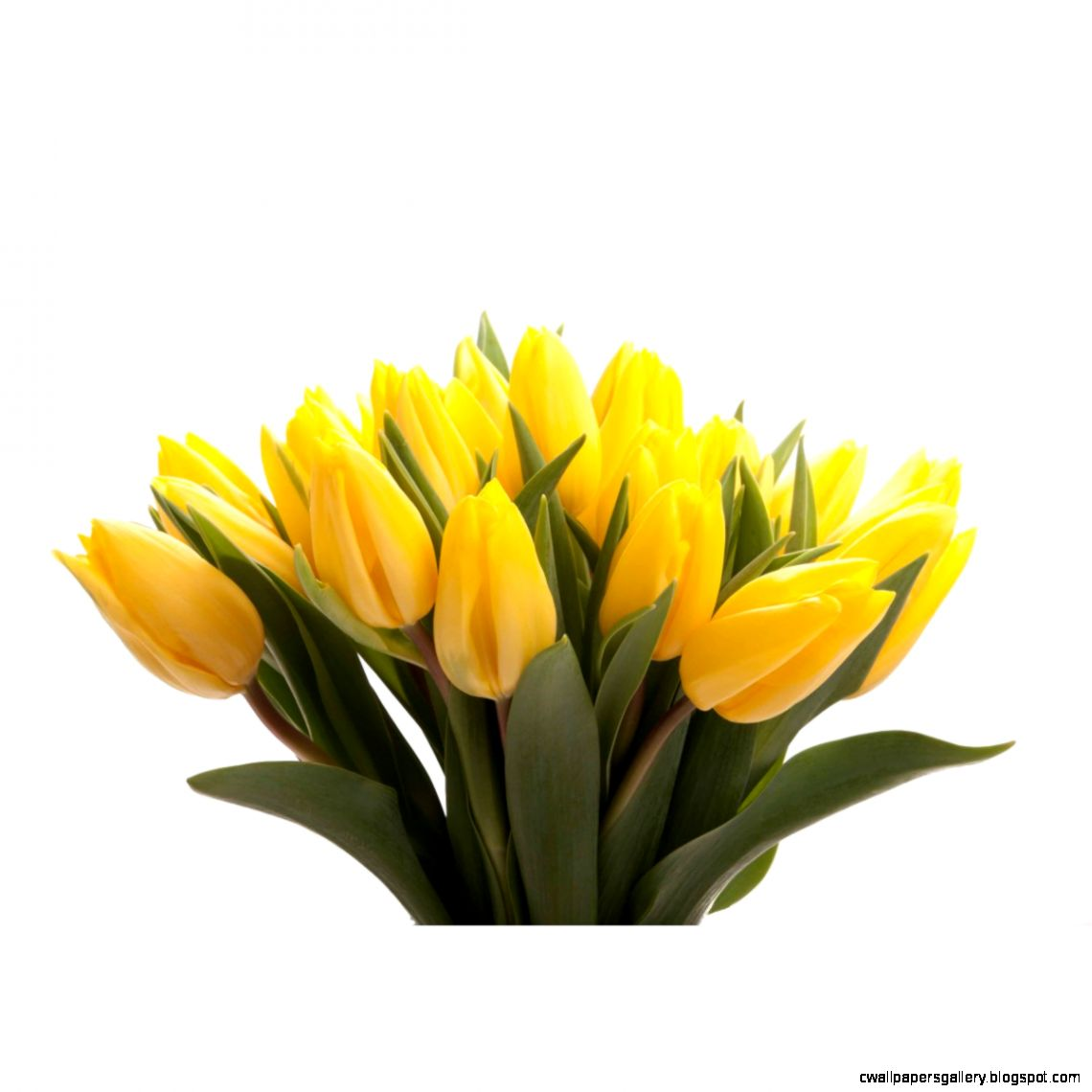 Valentines Day Yellow Tulips  Flower Muse