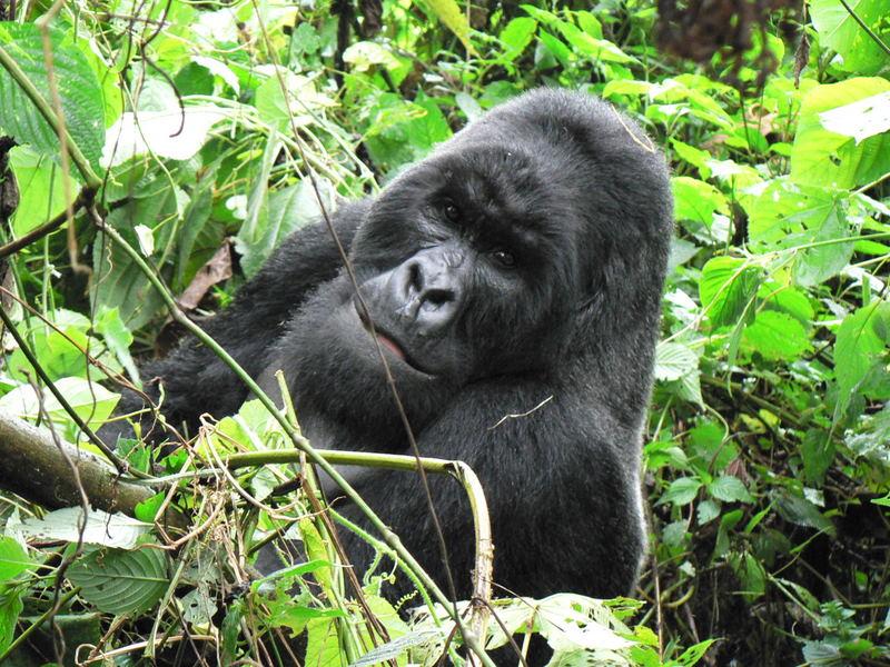 Eastern lowland gorilla habitat loss