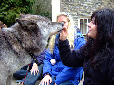 Studying wolves for dog behaviour