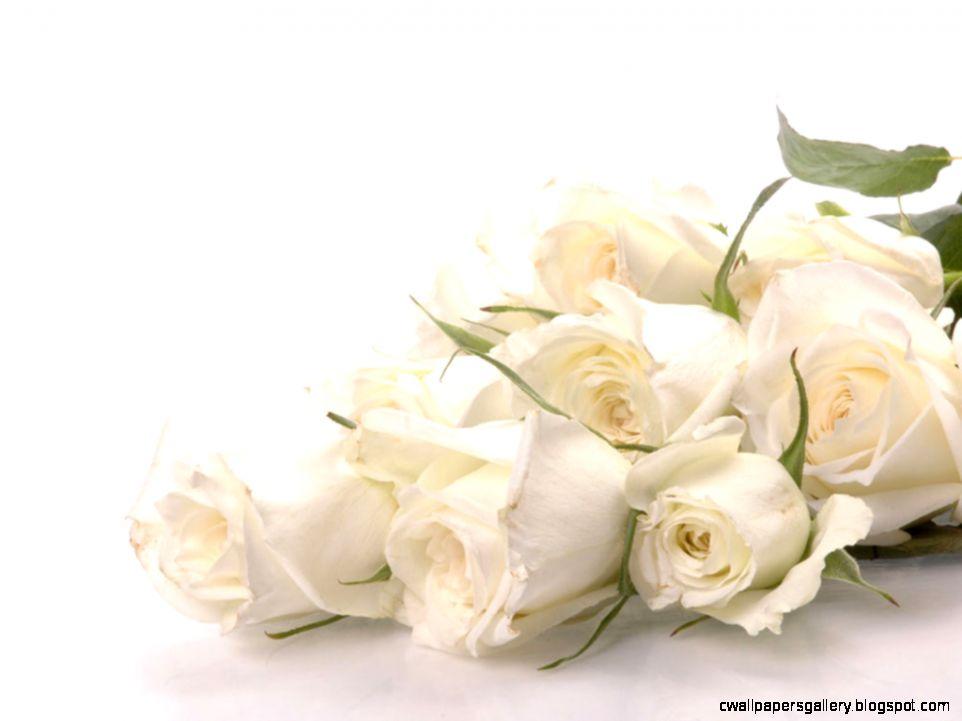 Rose White Background   WallpaperSafari
