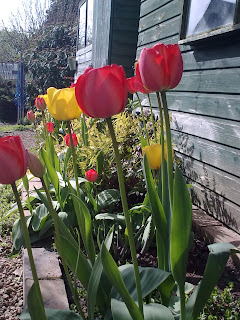 tulips_reaching_for_sun