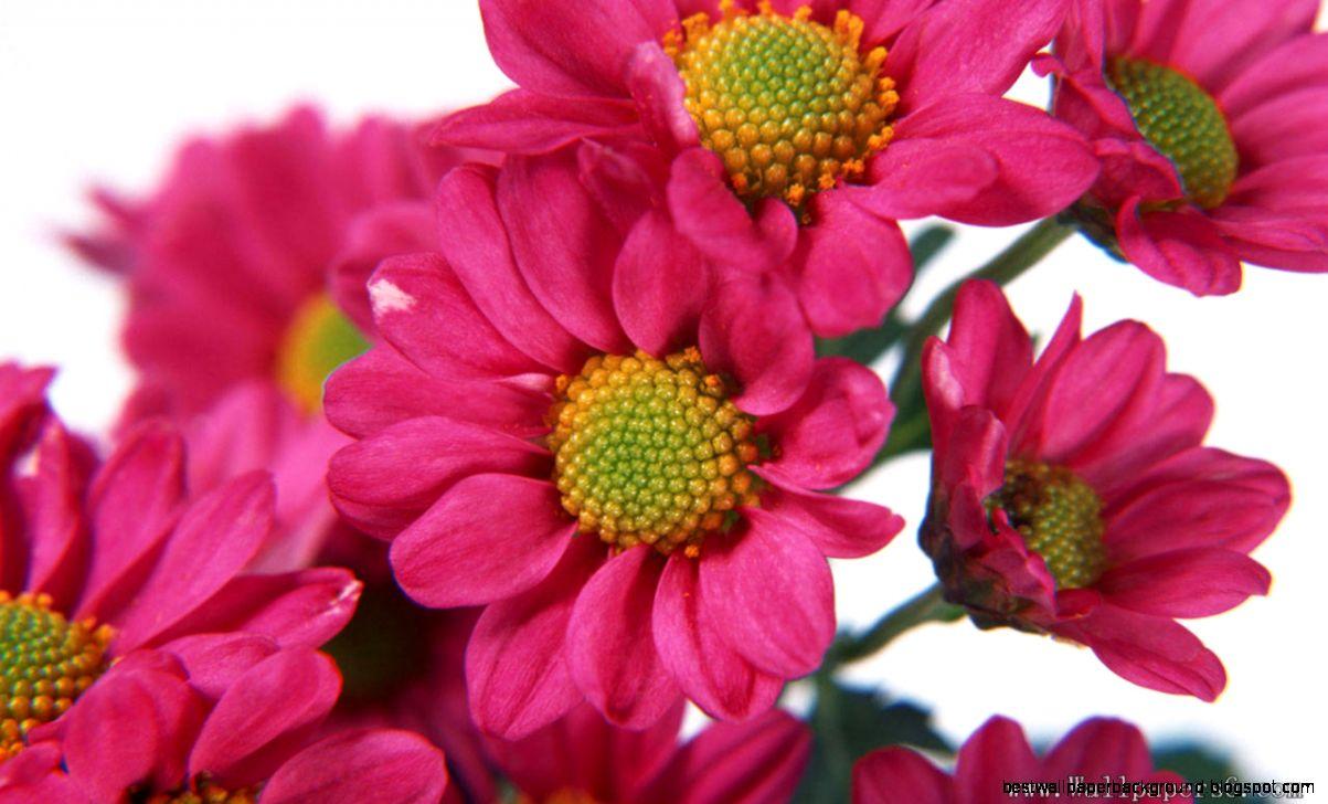 Beautiful Flowers Wallpapers Download Best Wallpaper Background