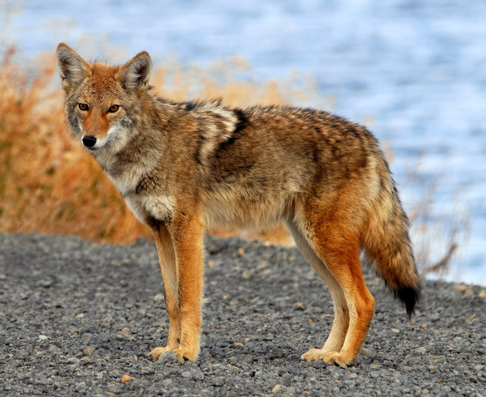 Coyote Animals | Interesting Facts & Latest Pictures ...