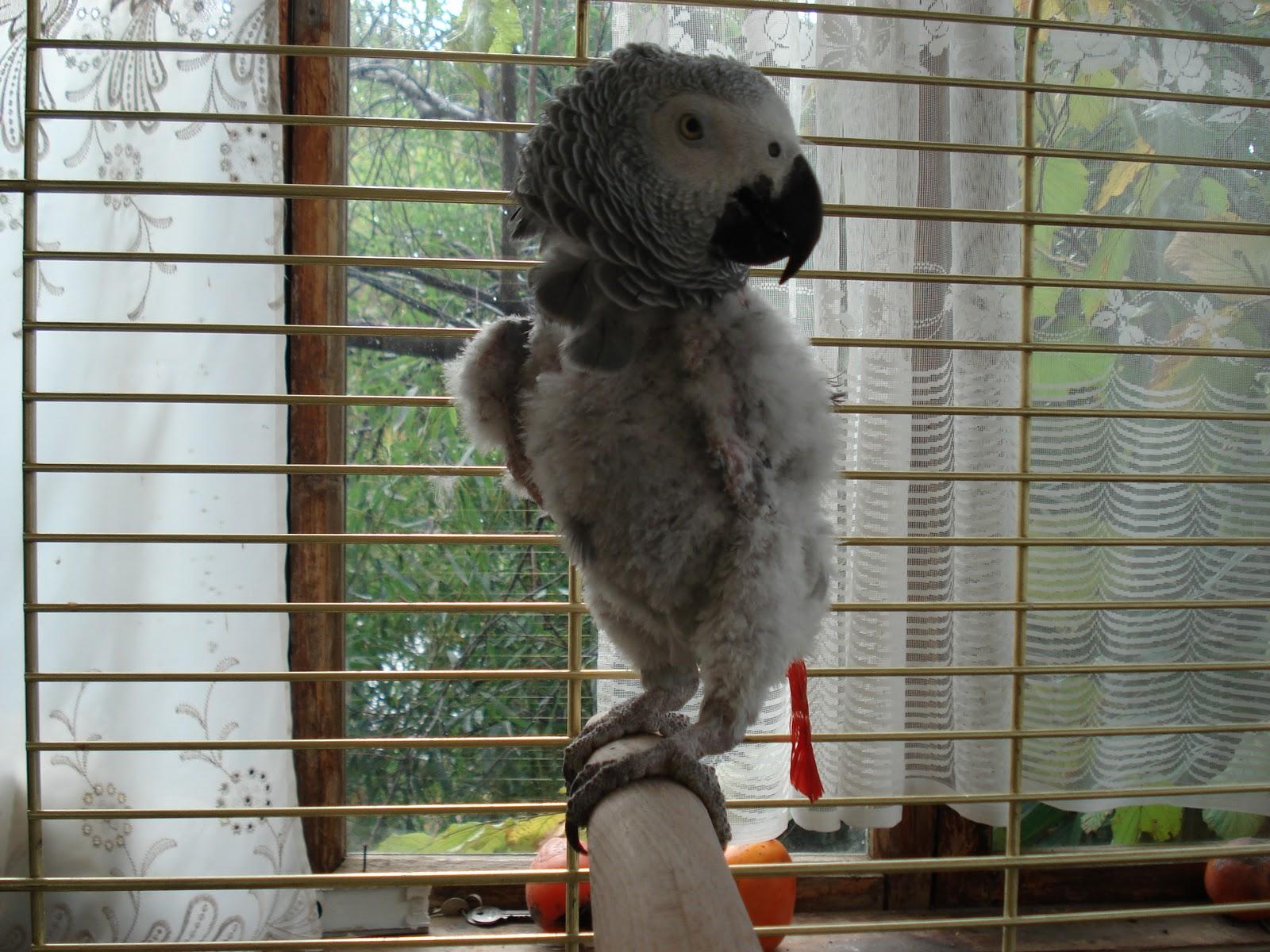 Как сделать воротник для попугаев 210