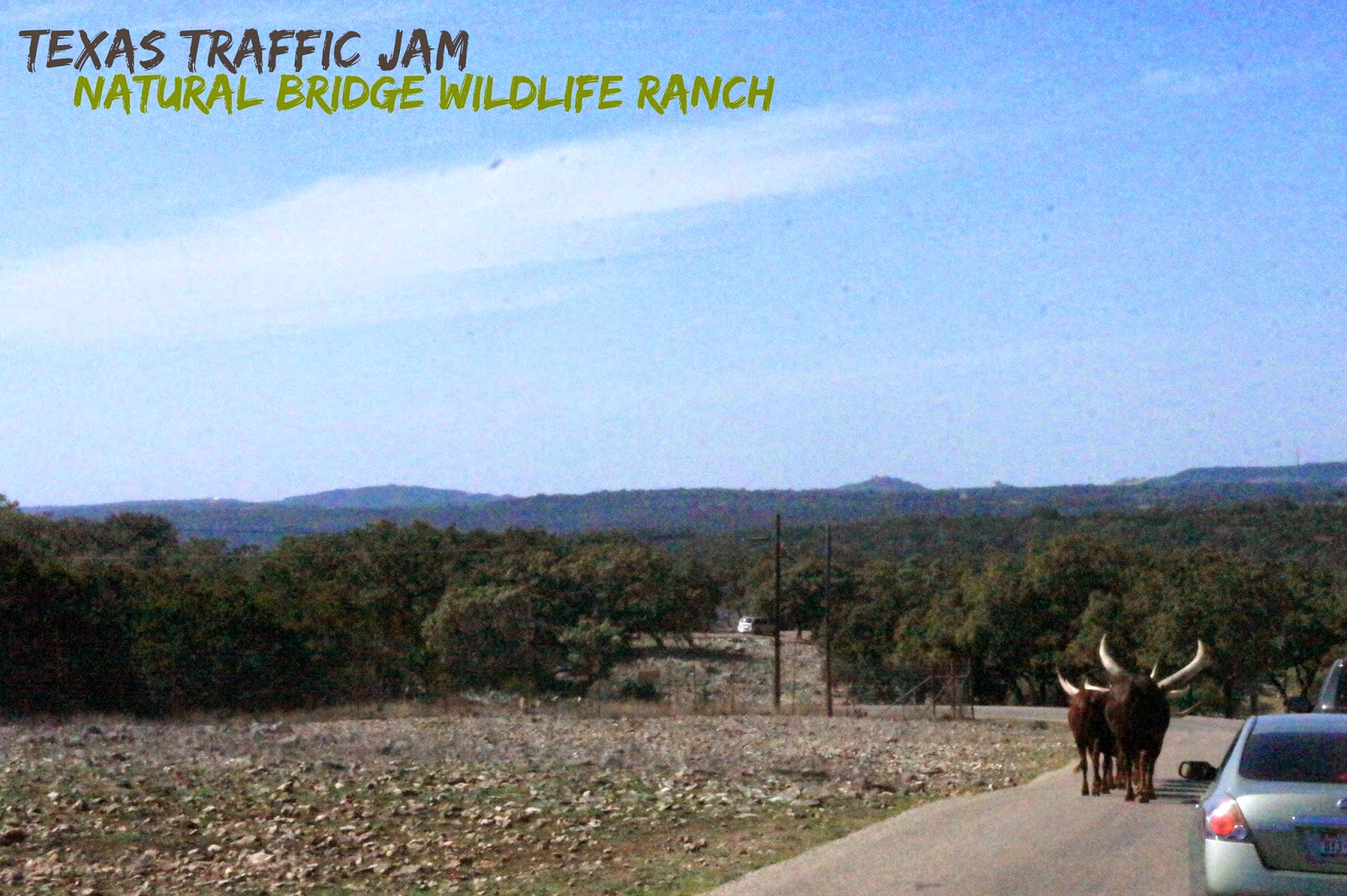Texas Traffic Jam at the Natural Bridge Wildlife Ranch in San Antonio, Texas