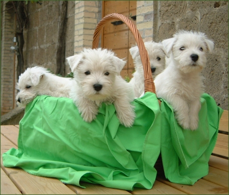 Funny cute westie dogs images pictures 2012