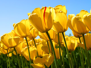 Tulip flowers 01