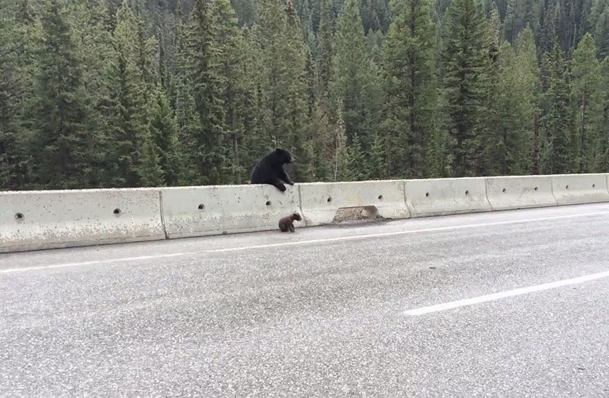 Mamma Bear Rescues Her Little Cub From A Busy Highway