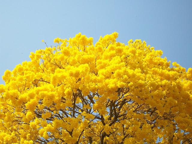 Ipê amarelo (Tabebuia alba).