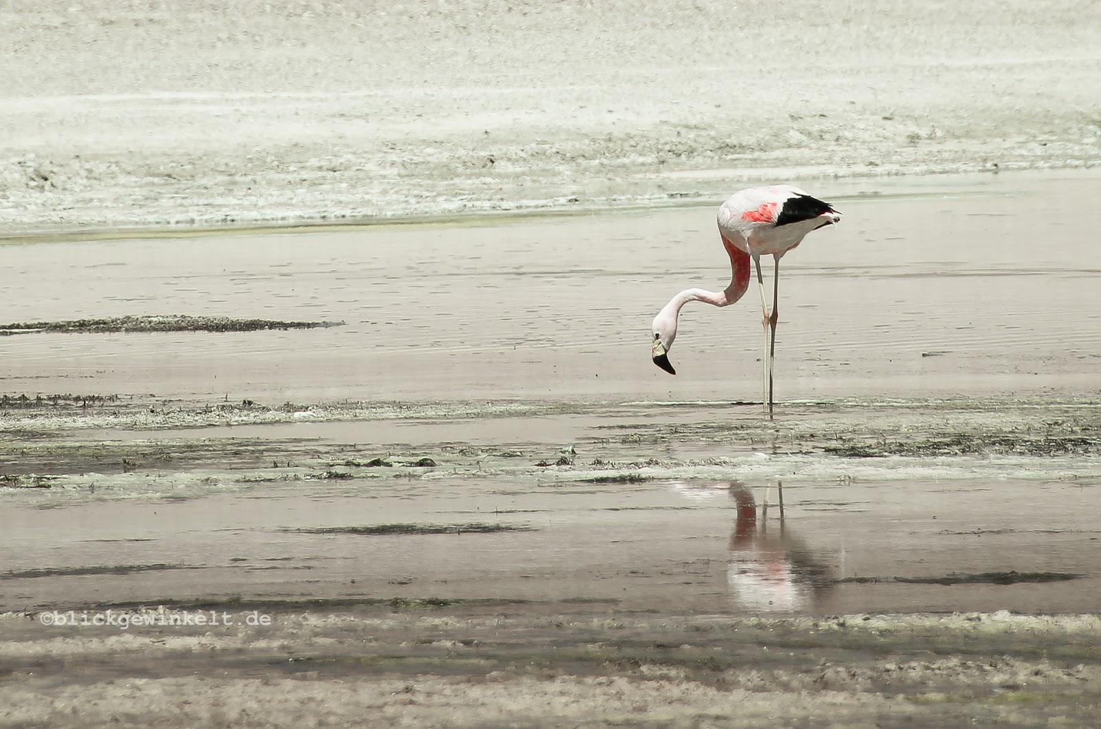 Flamingo, Bolivien, Altiplano