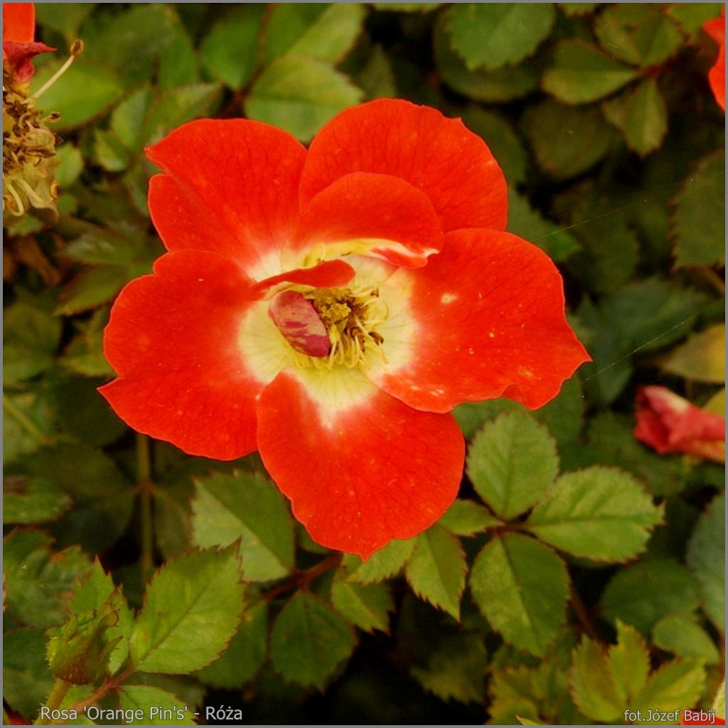 Rosa 'Orange Pin's' - Róża