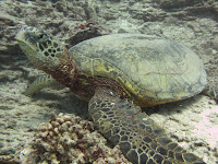 Hawaiian Green Sea turtle - Honolulu scuba diving