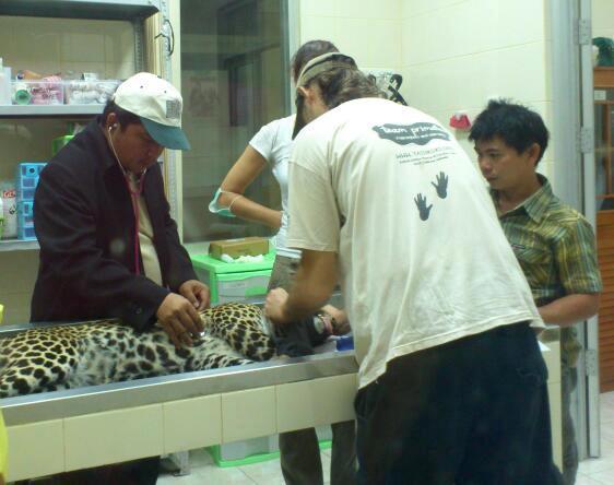 Satu Ekor Macam Tutul Dipulangkan ke Jawa Barat