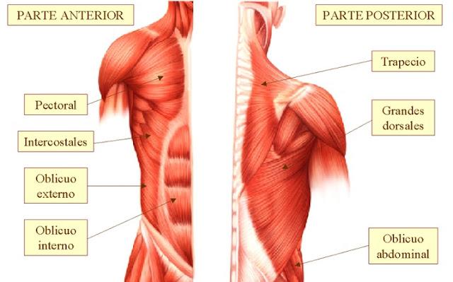 Educación fisica : Músculos del torso
