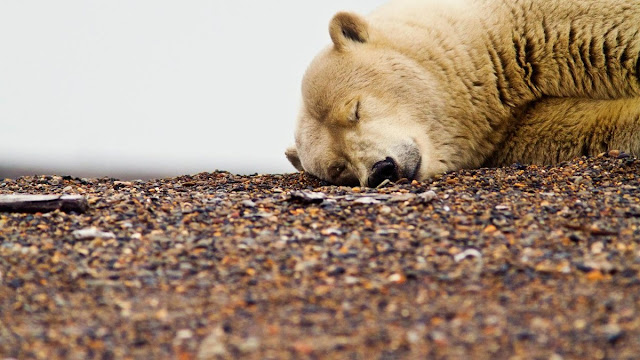 sleeping polar bear, funny animal pictures, animal pics