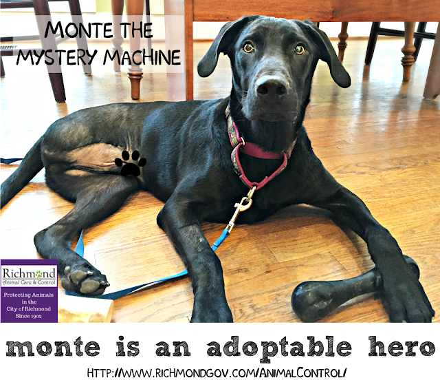 Black dog with three legs lying on wood floor with caption Monte is an adoptable hero and shelter URL