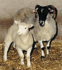Domba Muda yang Diberi Nama Dolly (Kiri) 99e5a735d2