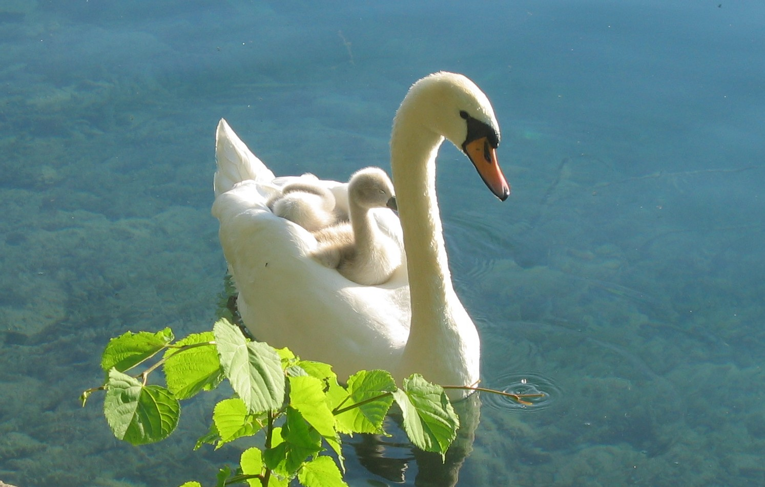 Im genes del mundo animal cisne for Fotos pinterest