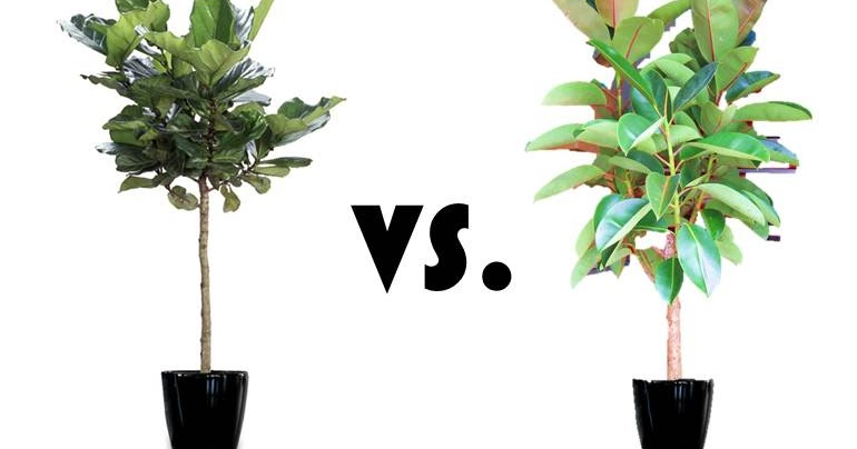 inspired whims rubber tree trumps fiddle leaf fig