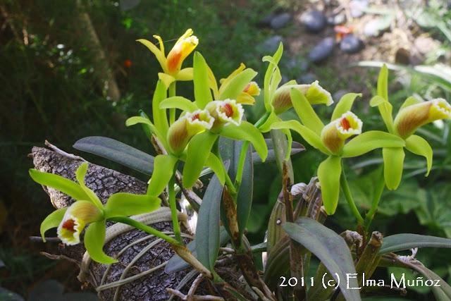 Cattleya luteola