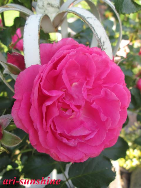 ari sunshine 40 mode blog hamburg schleswig holstein rehe fressen unsere rosen nicht mehr. Black Bedroom Furniture Sets. Home Design Ideas