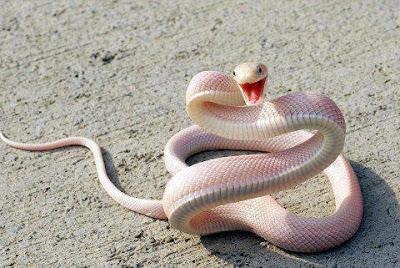 An Albino Mamba Snake