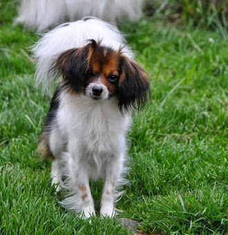 Current available (young) adults & retired Papillons, Phalenes