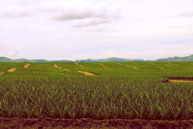 Pineapple Fields at Dole Phils Polomolok