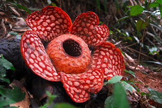 The Exotic Rafflesia Cantleyi Flower